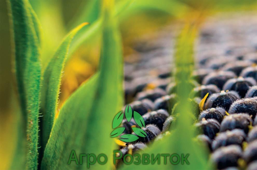 Бор для соняшника підвищує олійність