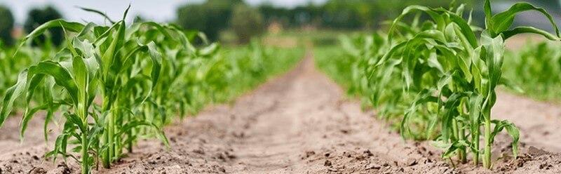 купить гербициды для кукурузы
