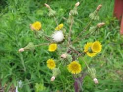 гербициды от осота