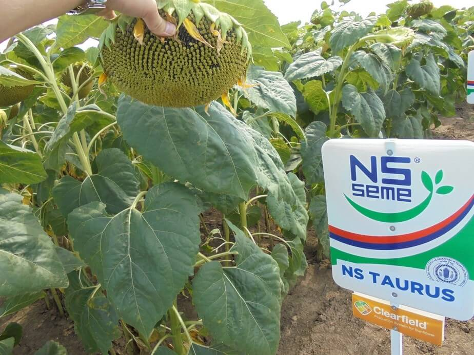 Соняшник Таурус насіння