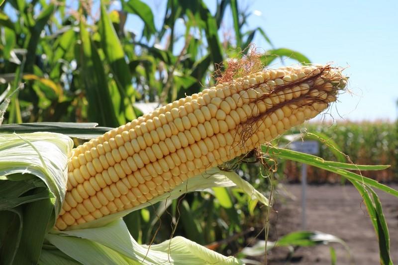 Кукуруза Даниил фото початка