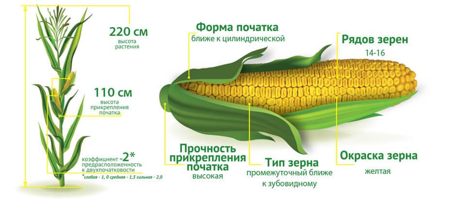 Семена кукурузы Премия