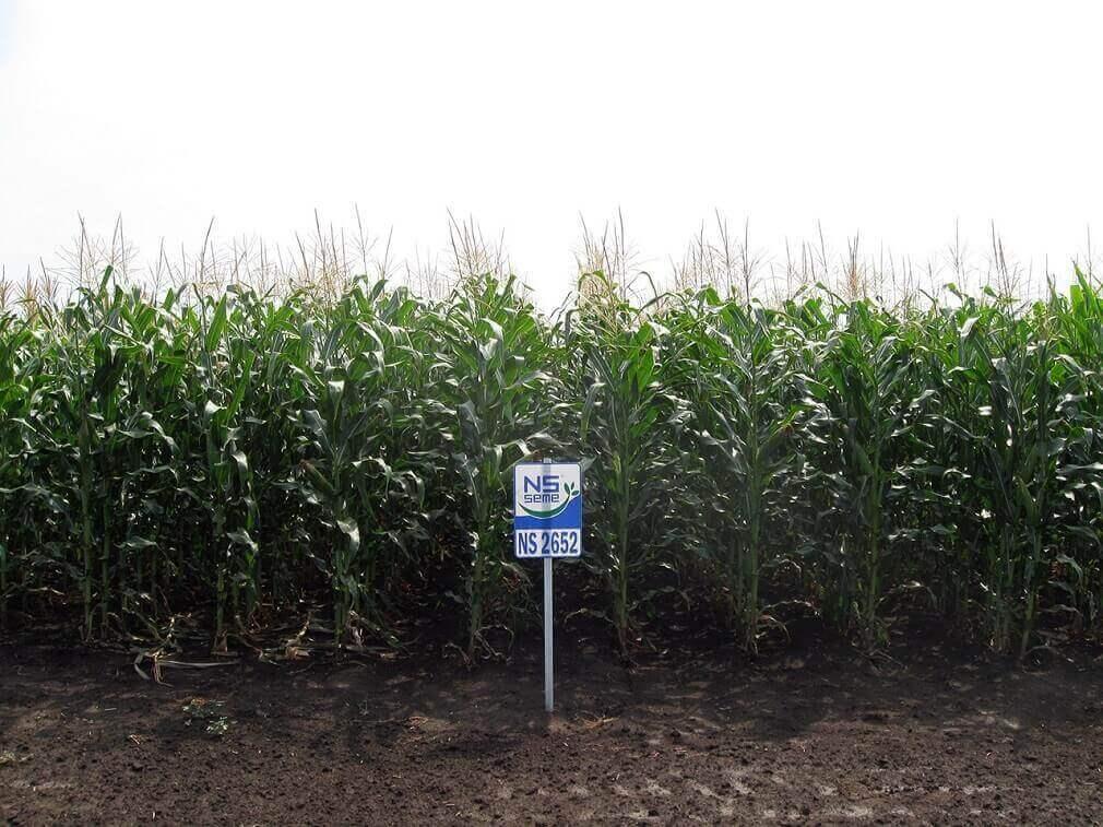 Семена кукурузы НС 2652 (ФАО 280) фото в поле