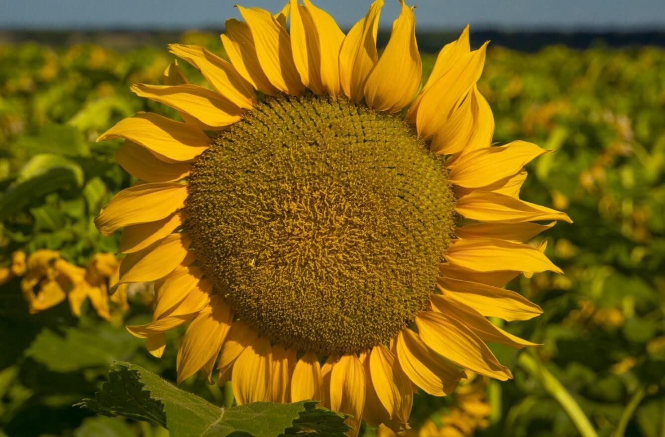 Семена Подсолнечника НС Х 6963 - Сады Украины